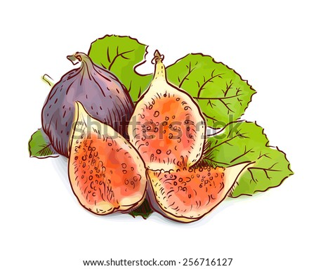 Figs. Watercolor imitation with sketch. Raster version. - stock photo
