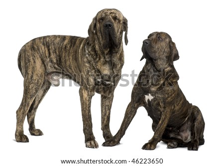 Fila braziliero or Brazilian Mastiffs, 18 months old, standing in front of white background - stock photo