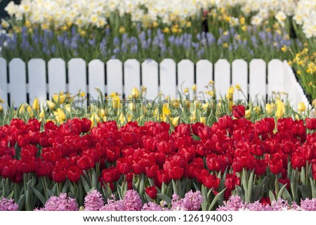 file of red tulip flower in the garden - stock photo