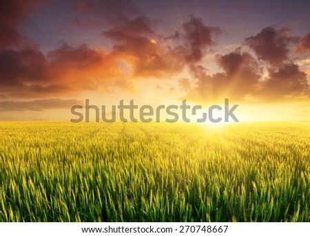 Filed during bright sunset. Agricultural landscape - stock photo
