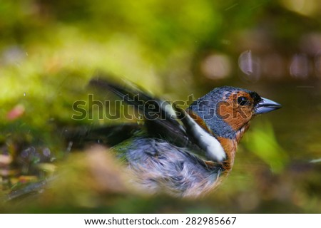 Finch bathing in a puddle - stock photo