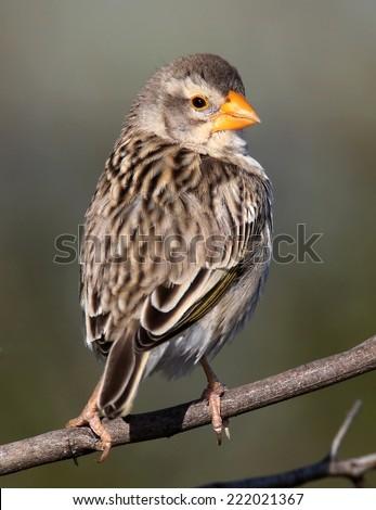 Finch bird with orange beak looking backwards - stock photo