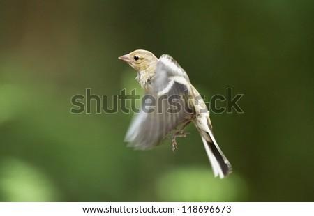 Finch in flight - stock photo