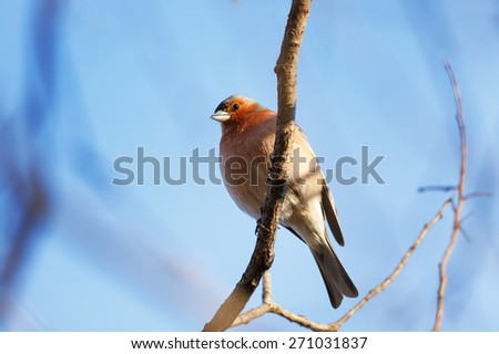 Finch on branch (Fringilla coelebs) - stock photo