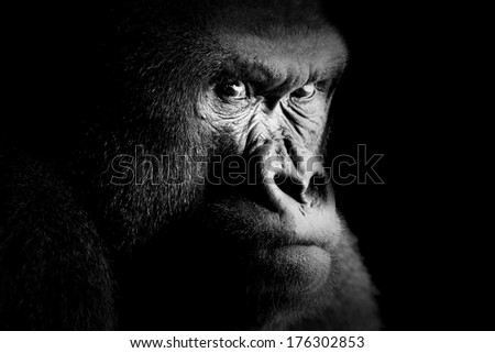Fine art portrait of a gorilla - stock photo