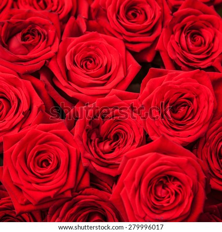 Fine grown red roses - stock photo