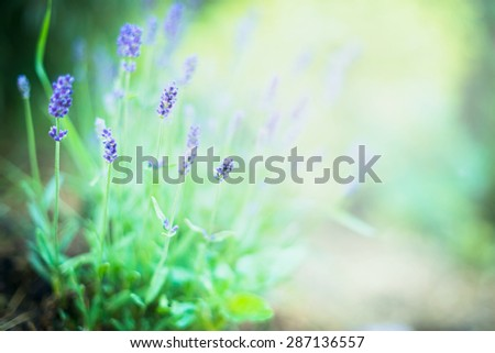 Fine lavender flowers on blurred garden or park background - stock photo