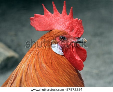 Fine looking rooster portrait - stock photo