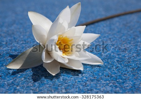 Fine white water lily against the nature - stock photo