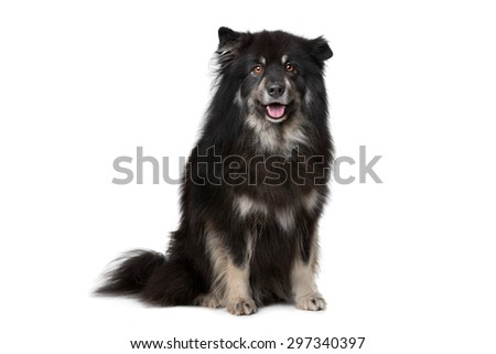 Finnish Lapphund in front of a white background - stock photo