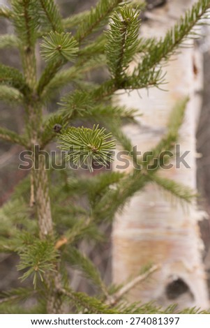 Fir and Birch Trees - stock photo