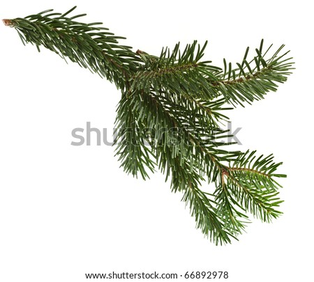 fir branch isolated on a white - stock photo