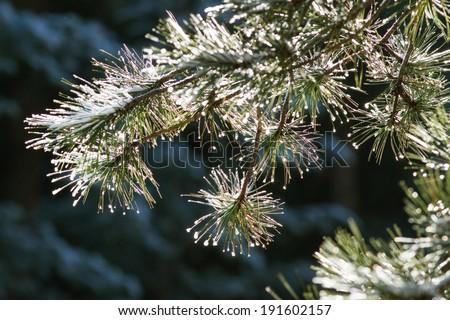 Fir branch on snow  - stock photo