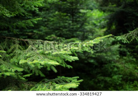 Fir forest background with fir branches. Selective focus. Small Dof. Space for text. - stock photo
