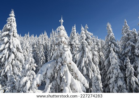 Fir forest covered in winter snow - stock photo