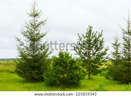 fir-tree a tree on a green grass - stock photo