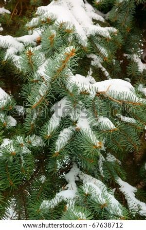 Fir tree branch covered with snow background - stock photo