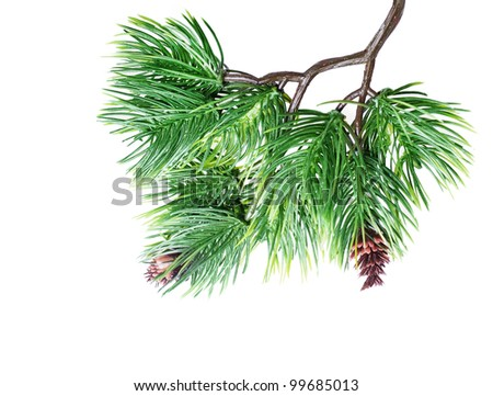 Fir tree branch isolated - stock photo