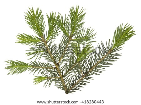 Fir tree branch isolated on white background - stock photo