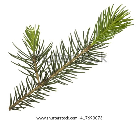 Fir tree branch isolated on white. Clipping Path included for your design. - stock photo