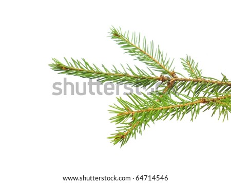 fir tree branch on the white isolate background - stock photo