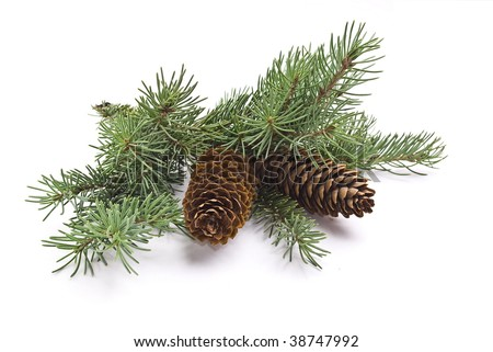 Fir tree branch with cones - stock photo