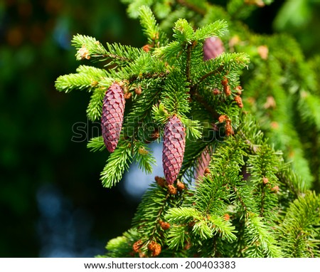 Fir-tree branch with cones closeup - stock photo