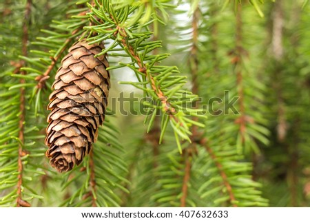 Fir tree cone hanging against green needles. Single pine cone. Brown pine cone. Nature fresh green background with pine twigs filled frame. One pine cone and branches. Place for your own text. Spring. - stock photo