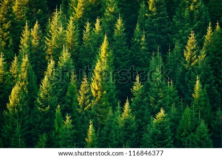fir tree forest in morning time - stock photo