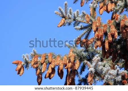 Fir-tree with many bumps over clear sky - stock photo