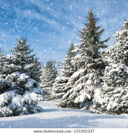 fir trees covered by snow - stock photo