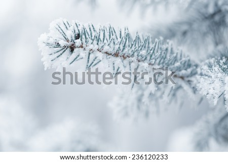 fir twigs covered with hoarfrost, copy space - stock photo