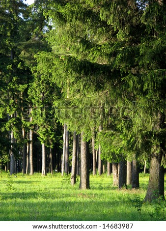 Fir wood  in the evening, middle Russia - stock photo