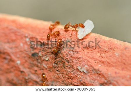 fire ant teamwork in nature or in the garden - stock photo