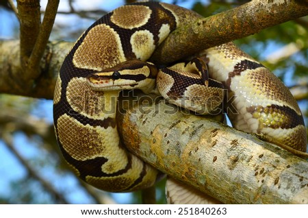 Fire Ball Python Snake wrapped around a branch - stock photo