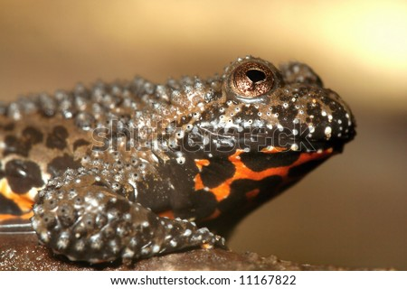 Fire Bellied Frog - stock photo