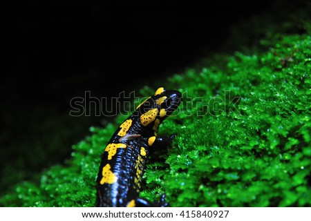 Fire salamander on a fresh green moss in the forest - stock photo