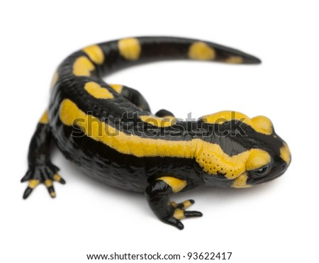 Fire salamander, Salamandra salamandra, in front of white background - stock photo