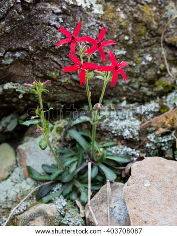 Firepink (Silene virginica) blossoms in early spring - stock photo