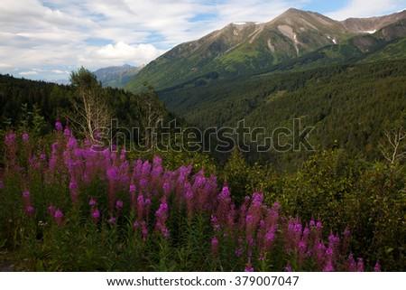 Fireweed grows along a hillside on the Kenai Peninsula, Alaska - stock photo
