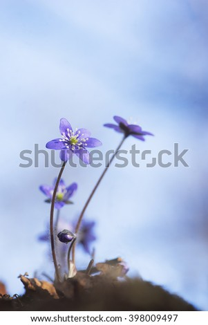 first anemone hepatica of the season on blue sky - stock photo