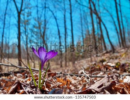 first crocus flower of spring, perceptual image with bloom in foreground and bare trees blue sky in background - stock photo