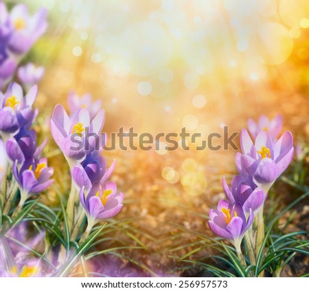 first crocus flowers over blurred sunlight nature background - stock photo