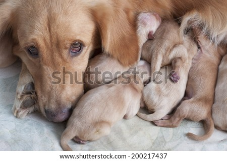 first day of golden retriever puppies and mom  - stock photo