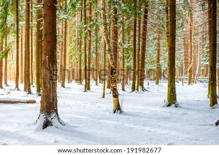 first fallen snow in the spruce forest - stock photo