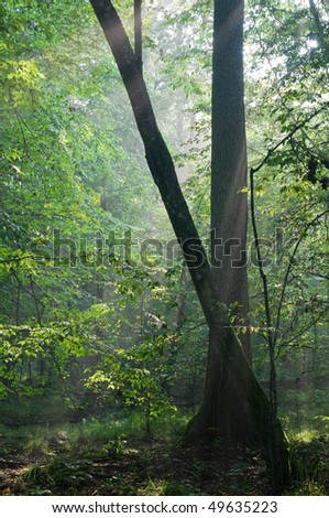 First light of morning entering old forest just rain after with two old trees in foreground - stock photo