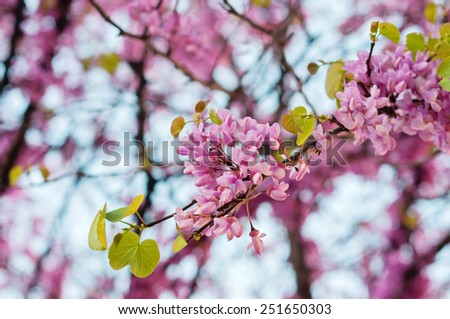 First pink flowers blossoming in spring park - stock photo
