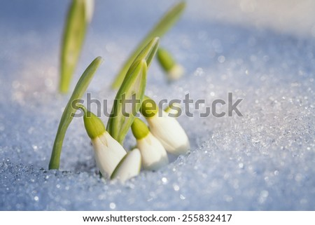 First snowdrops appeared from under the snow - stock photo
