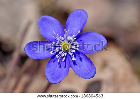 first spring blue flowers,violets in forest - stock photo