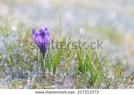 First spring crocus flower in water from melting snow. - stock photo